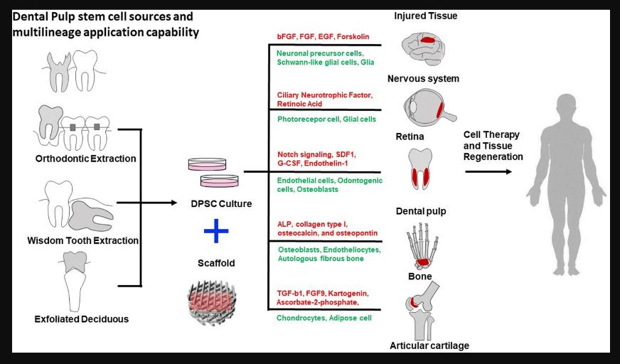 14 - سلول های بنیادی دندان